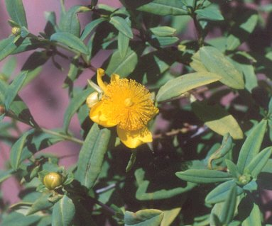 Picture of Hypericum frondosum