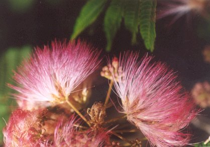 Picture of Albizia julibrissin
