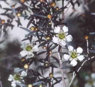 Picture of Leptospermum polygalifolium