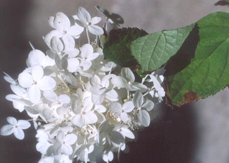 Picture of Hydrangea paniculata