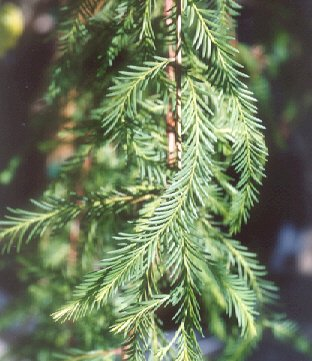 Picture of Taxodium mucronatum
