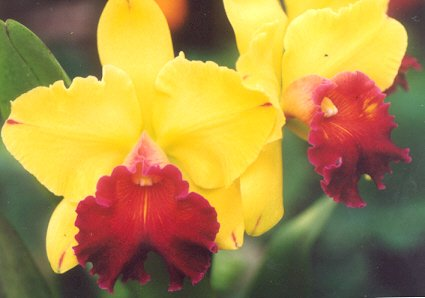 Picture of Cattleya