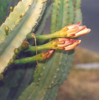 Picture of Cereus peruvianus