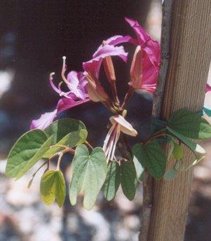 Picture of Bauhinia purpurea