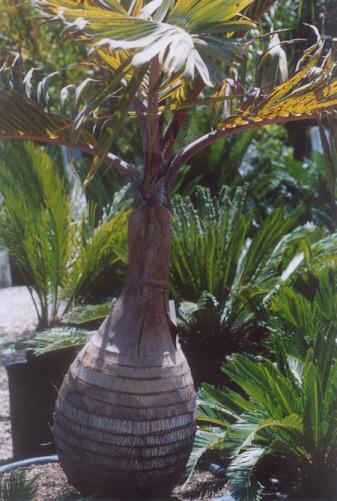 Picture of Hyophorbe lagenicaulis
