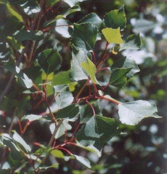 Picture of Populus nigra