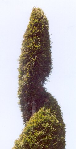 Picture of Thuja occidentalis