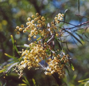 Picture of Acacia melanoxylon