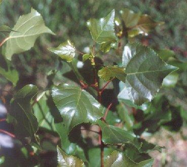 Picture of Populus trichocarpa