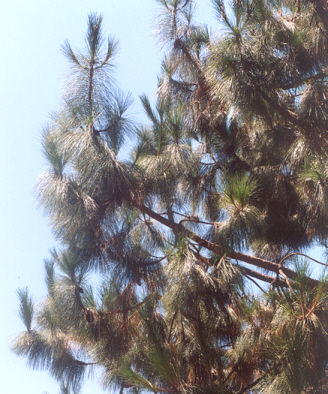 Picture of Pinus canariensis