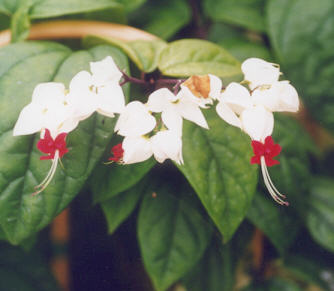 Picture of Clerodendron thomsoniae