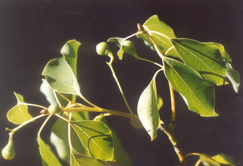 Picture of Cinnamomum camphora