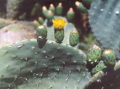 Picture of Opuntia ficus-indica