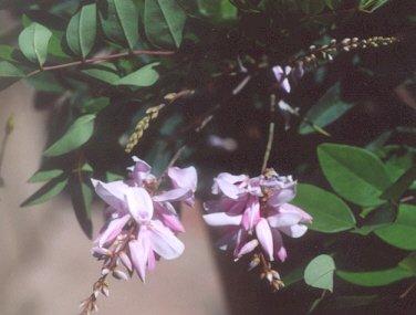 Picture of Indigofera incarnata