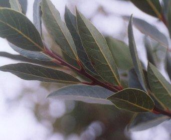 Picture of Laurus nobilis