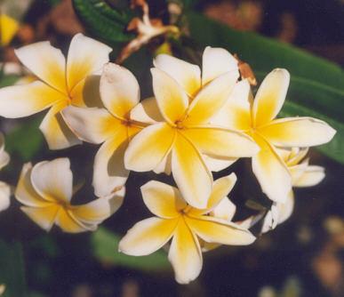 Picture of Plumeria rubra