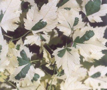 Picture of Abutilon hybridum