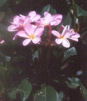 Picture of Plumeria sp.