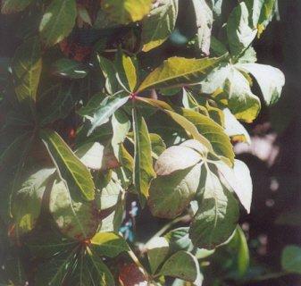 Picture of Parthenocissus quinquefolia