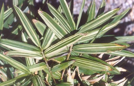 Picture of Pleioblastus argentostriatus