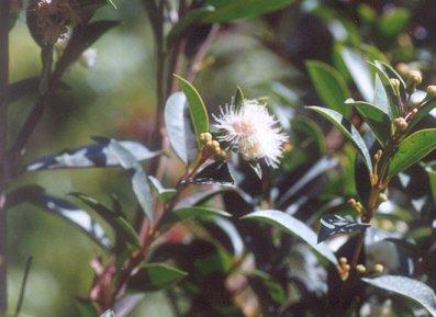 Picture of Syzygium paniculatum
