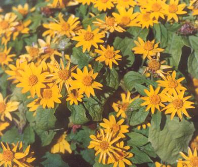 Picture of Melampodium leucanthum