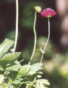 Picture of Knautia macedonia