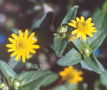 Picture of Sanvitalia procumbens