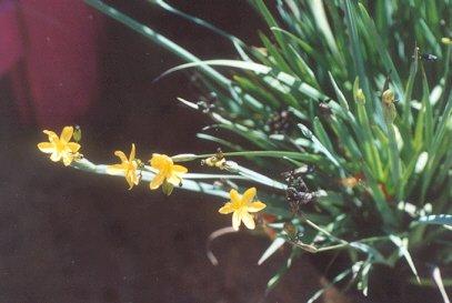 Picture of Sisyrinchium californicum