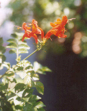 Picture of Tecoma capensis