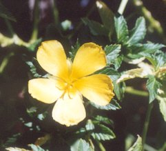 Picture of Turnera ulmifolia