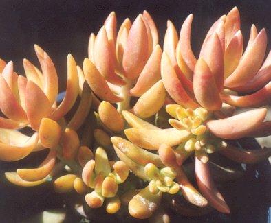 Picture of Sedum nussbaumerianum
