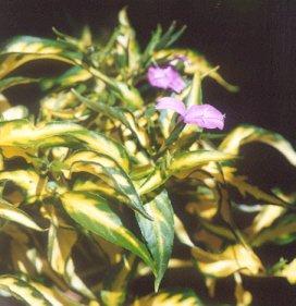 Picture of Peristrothe hypssopifolia var. auero-variegata