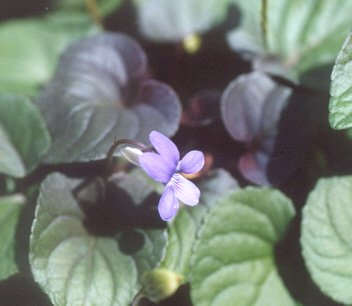 Picture of Viola labradorica