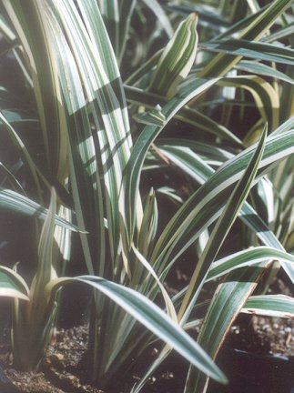 Picture of Dianella tasmanica