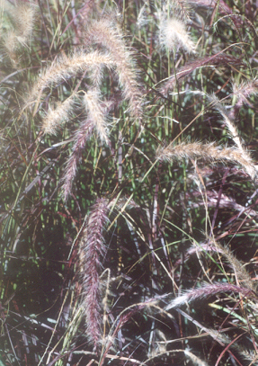 Picture of Pennisetum sp.