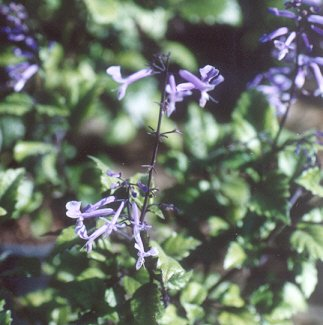 Picture of Plectranthus sp.