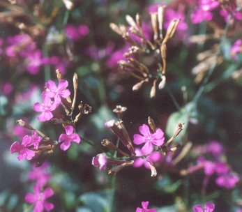 Picture of Silene sp.