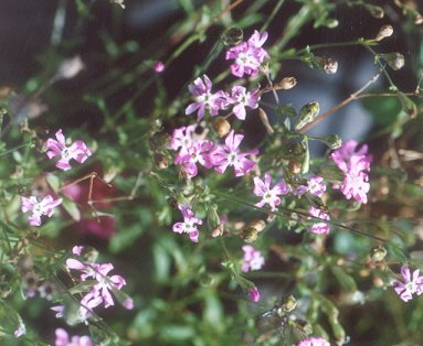 Picture of Silene colorata