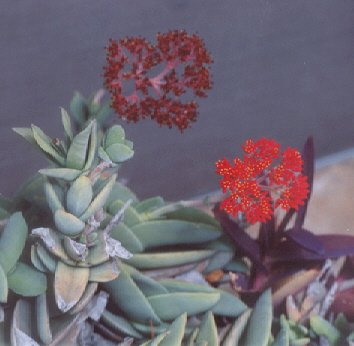 Picture of Crassula falcata