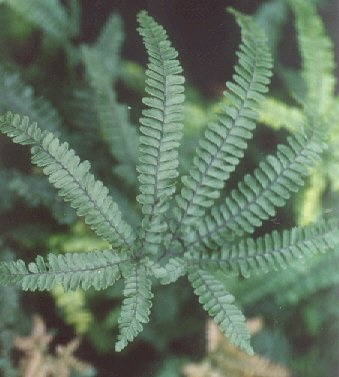 Picture of Adiantum hispidulum