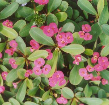 Picture of Euphorbia milii