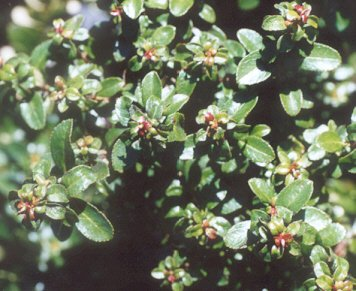 Picture of Escallonia sp.