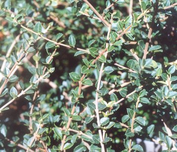 Picture of Osmanthus delavayi