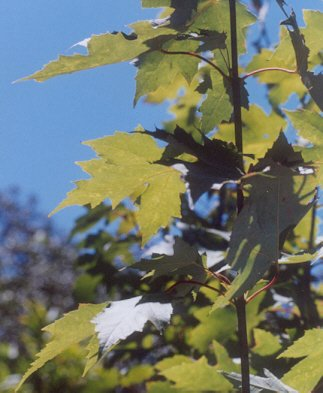 Picture of Acer freemanii