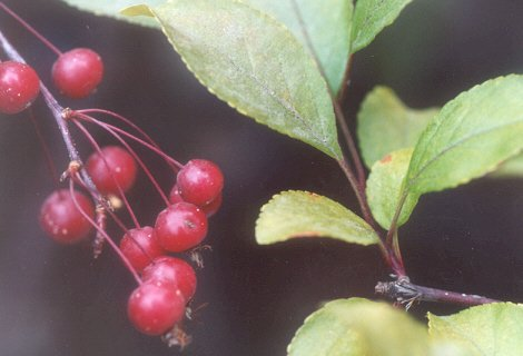 Picture of Malus sp.