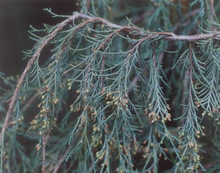 Picture of Juniperus scopulorum