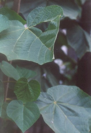 Picture of Dombeya wallichii