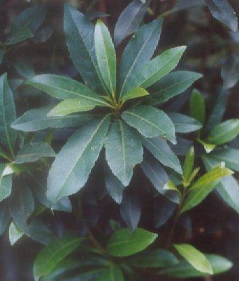 Picture of Elaeocarpus decipiens