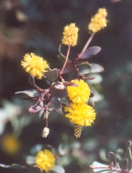 Picture of Acacia craspedocarpa
